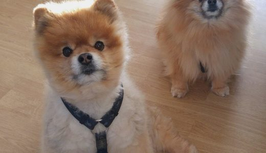 【世界で一番かわいい犬】「ブゥ」が亡くなる‼︎生前の写真に癒される
