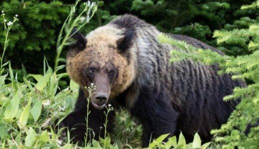 札幌に11日連続でクマ出没。ハンターがクマを駆除できない理由