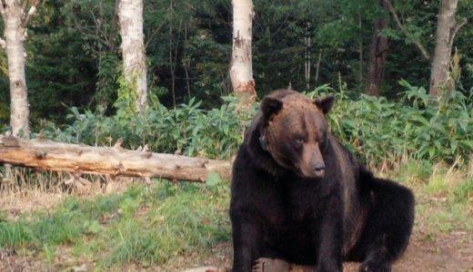 札幌出没のクマをついに駆除‼︎体長1.5mのメスのヒグマ。