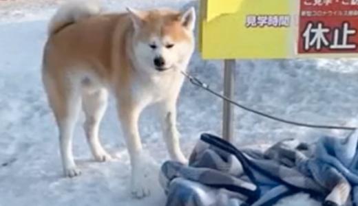 極寒の北海道で秋田犬を捨てる飼い主の一部始終が防犯カメラに。犬は寒さで体を震わせる。コロナ禍のペットブームで飼育放棄が急増