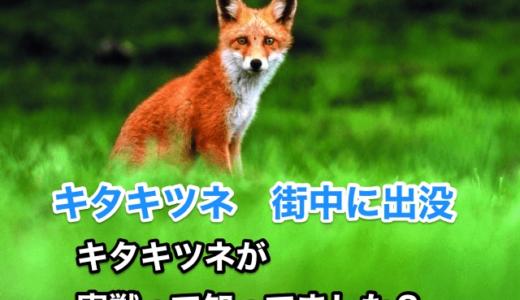 『キタキツネ』北海道の市街地に出没‼️かわいいキタキツネが「害獣」って知ってました。